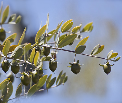 Jojoba seeds